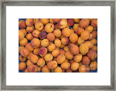 Apricot Moorpark Harvest Framed Print by Tim Gainey