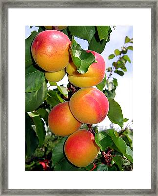 Apricots Framed Print by Will Borden