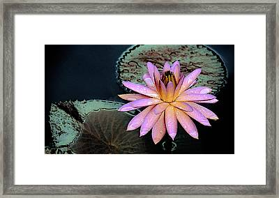 Aquatic Beauty Night Blooming Water Lily Framed Print by Julie Palencia