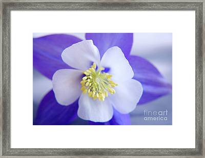 Aquilegia Framed Print by Julia Hiebaum