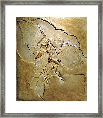 Archaeopteryx Fossil, Berlin Specimen Framed Print by Chris Hellier
