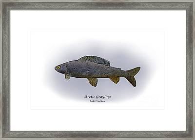 Arctic Grayling Framed Print by Ralph Martens