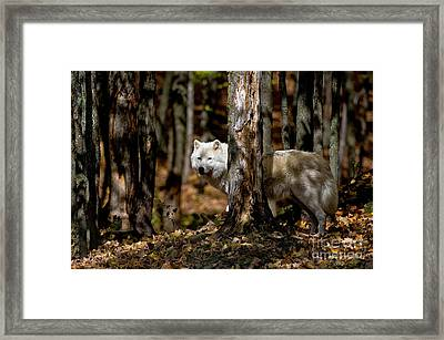 Arctic Wolf In Forest Framed Print by Michael Cummings