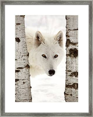 Arctic Wolf Seen Between Two Trees In Winter Framed Print by Mark Duffy