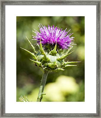 Artichoke Thistle 3 Framed Print by Kelley King
