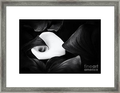 Arum Lily Framed Print by Tim Gainey