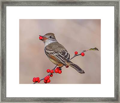 Ash-throated Flycatcher With A Red Berry Framed Print by Morris Finkelstein