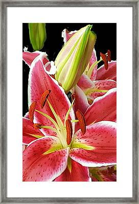 Asian Lily Faces Framed Print by ARTography by Pamela Smale Williams