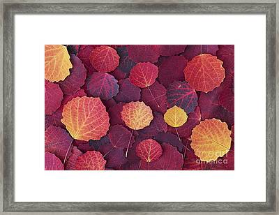 Aspen Autumn Framed Print by Tim Gainey