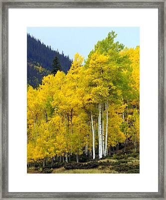 Aspen Fall Framed Print by Marty Koch
