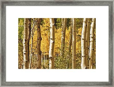 Aspen Gold Framed Print by James BO  Insogna