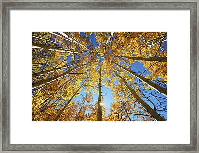 Aspen Tree Canopy 2 Framed Print by Ron Dahlquist - Printscapes