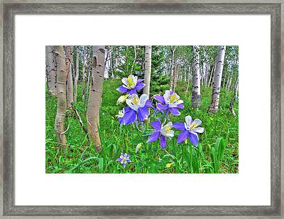Aspens And Columbines Framed Print by Scott Mahon