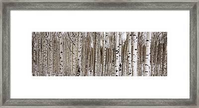 Aspens In Winter Panorama - Colorado Framed Print by Brian Harig