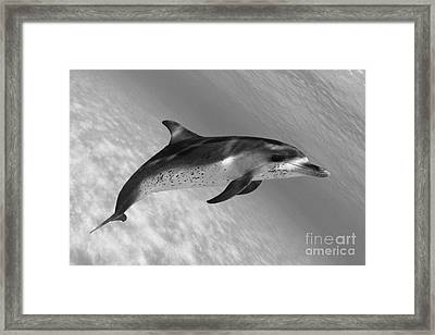 Atlantic Spotted Dolphin Framed Print by Dave Fleetham - Printscapes
