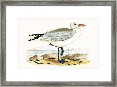 Audouin's Gull Framed Print by English School