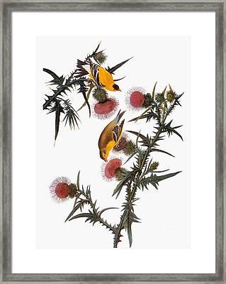 Audubon: Goldfinch Framed Print by Granger