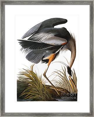 Audubon: Heron Framed Print by Granger