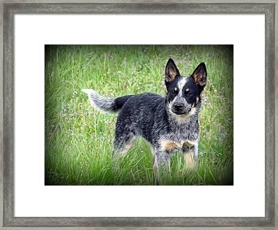 Australian Cattle Dog Framed Print by Krista Carofano