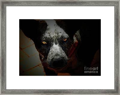 Australian Cattle Dog Framed Print by Steven  Digman