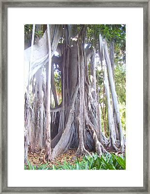 Australian Fig Tree Framed Print by Ramon Labusch