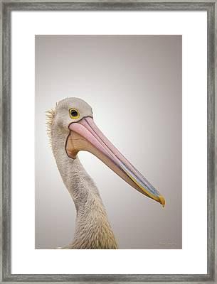 Australian Pelican Framed Print by Wim Lanclus