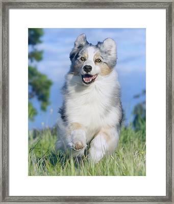 Australian Shepherd 2 Framed Print by Wolf Shadow  Photography