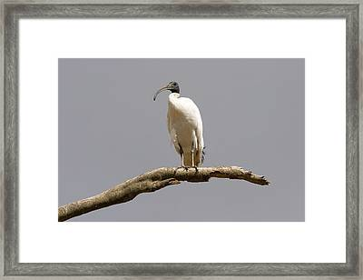 Australian White Ibis Perched Framed Print by Mike  Dawson