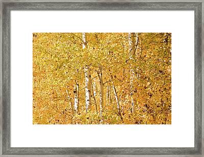 autumn aspen leaves Populus tremuloides Framed Print by Ed Book