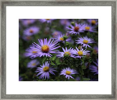 Autumn Asters Framed Print by Jessica Jenney