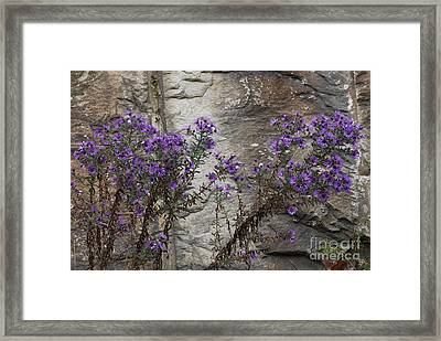 Autumn Asters Framed Print by Randy Bodkins