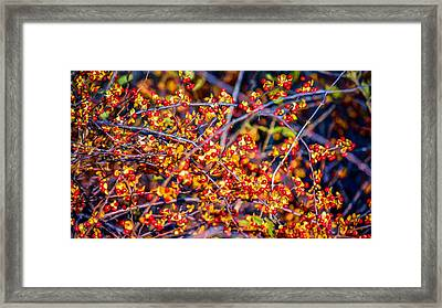 Climbing Bittersweet Cluster Framed Print by Black Brook Photography
