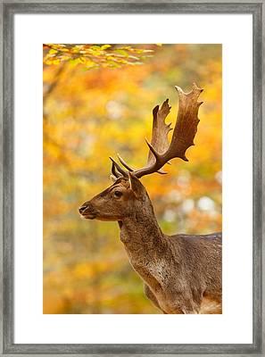 Autumn Buck Framed Print by Roeselien Raimond