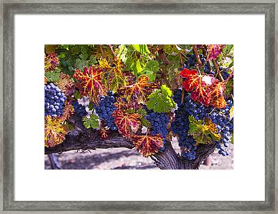 Autumn Grapes Harvest Framed Print by Garry Gay