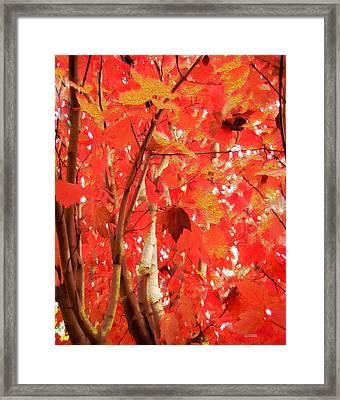 Autumn Maple Framed Print by Kathy Bassett