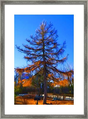 Autumn Pine Tree Framed Print by Lilia D
