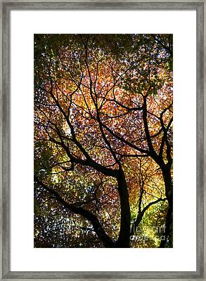 Autumnal Acer Palmatum Westonbirt Orange Framed Print by Tim Gainey
