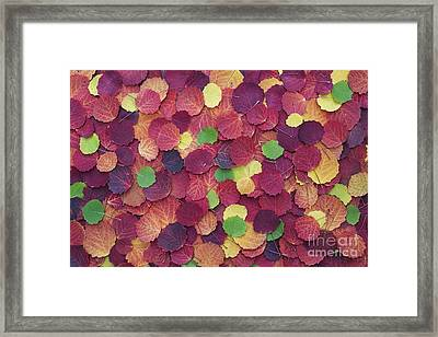 Autumnal Aspen Leaves Framed Print by Tim Gainey