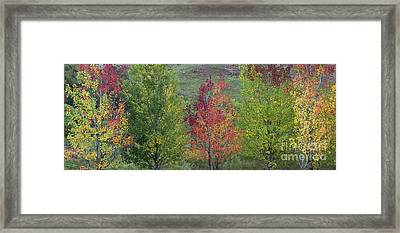 Autumnal Aspen Trees Panoramic Framed Print by Tim Gainey