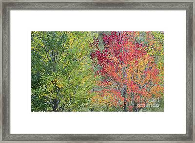 Autumnal Aspen Trees Framed Print by Tim Gainey