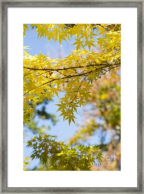 Autumnal Coral Bark Maple Leaves Framed Print by Tim Gainey