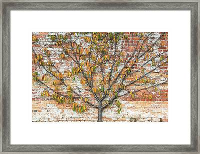 Autumnal Espalier Fruit Tree  Framed Print by Tim Gainey