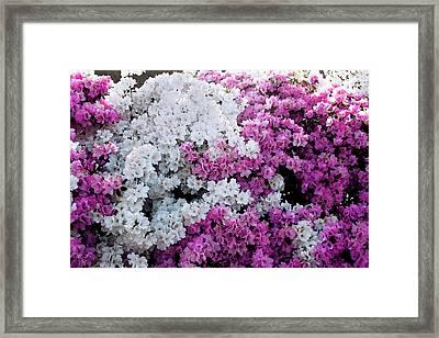 Azelea Heaven Framed Print by Susan Vineyard