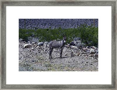 Azorina Donkey Framed Print by Garry Gay