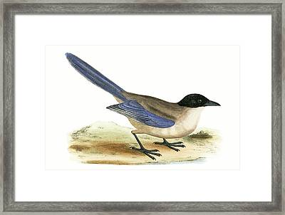 Azure Winged Magpie Framed Print by English School