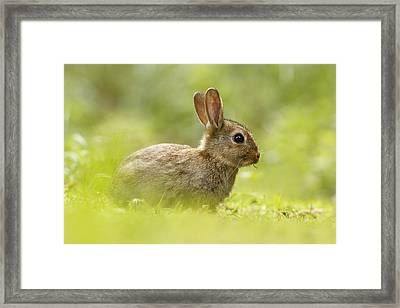 Baby Bunny Having Lunch Framed Print by Roeselien Raimond