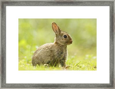 Baby Bunny In The Grass Framed Print by Roeselien Raimond