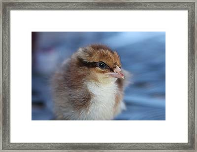 Baby Chicken Framed Print by Angie Wingerd