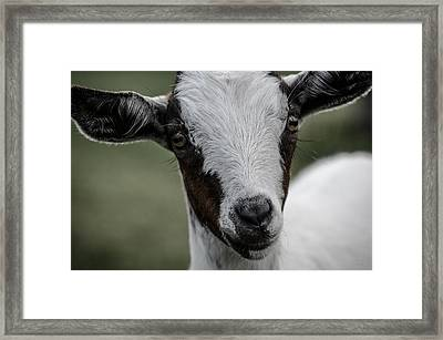 Baby Goat Framed Print by Donna Lee