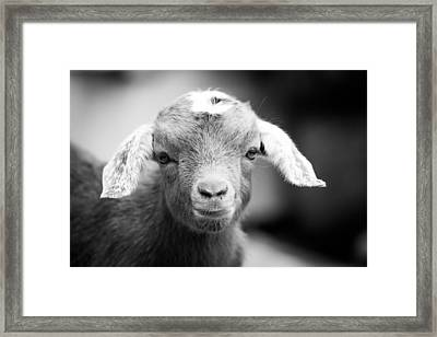 Baby Goat Horizontal Monochrome Framed Print by Shelby Young